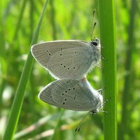 Conservation work sees small blue butterfly population soar
