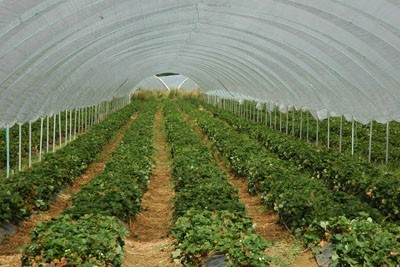 Strawberry crop under a polytunnel